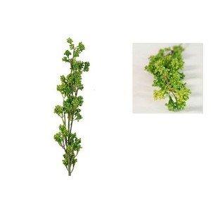 Origanum vulgare Remo grün